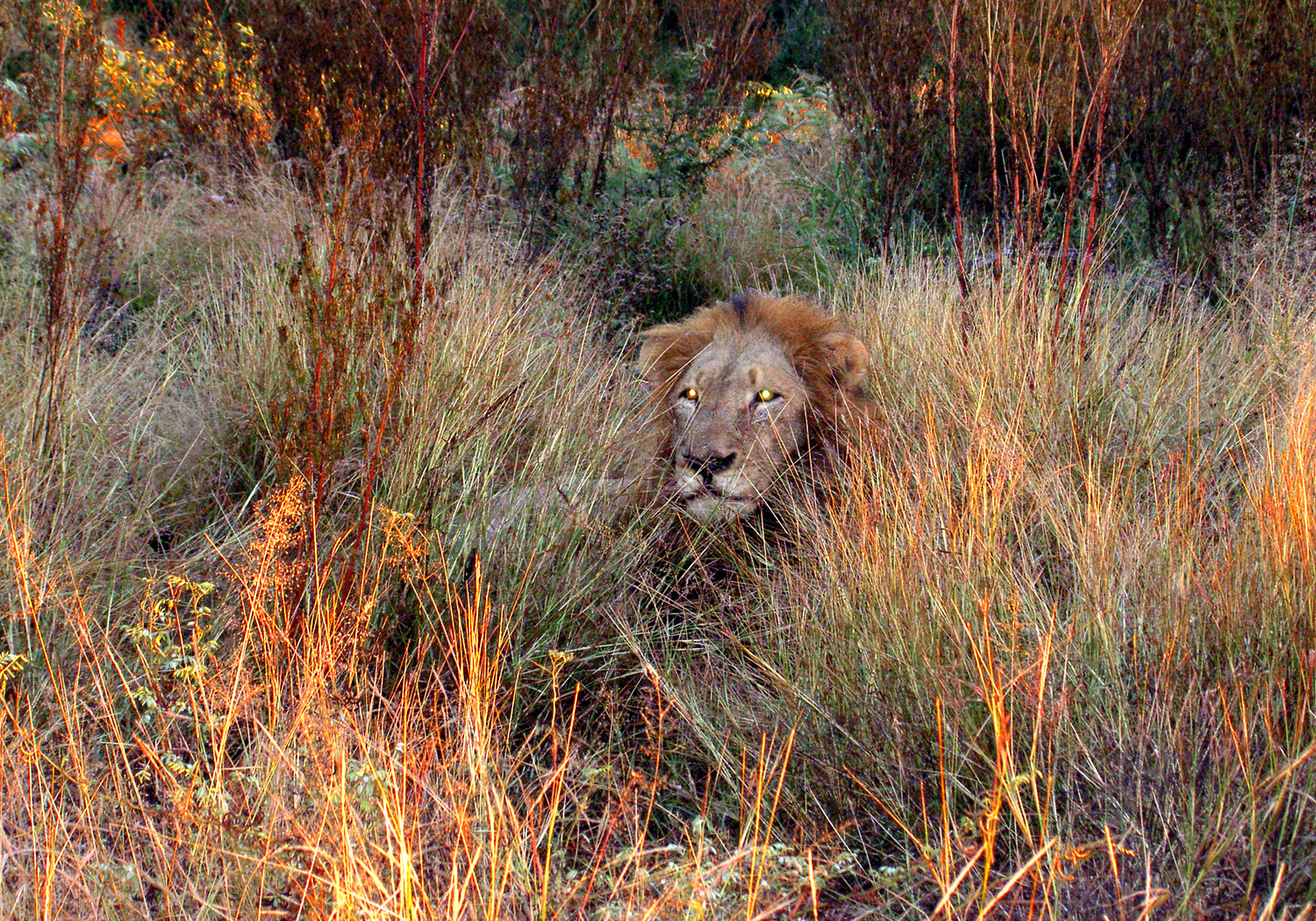 Website - A38 - Kruger -  Lion