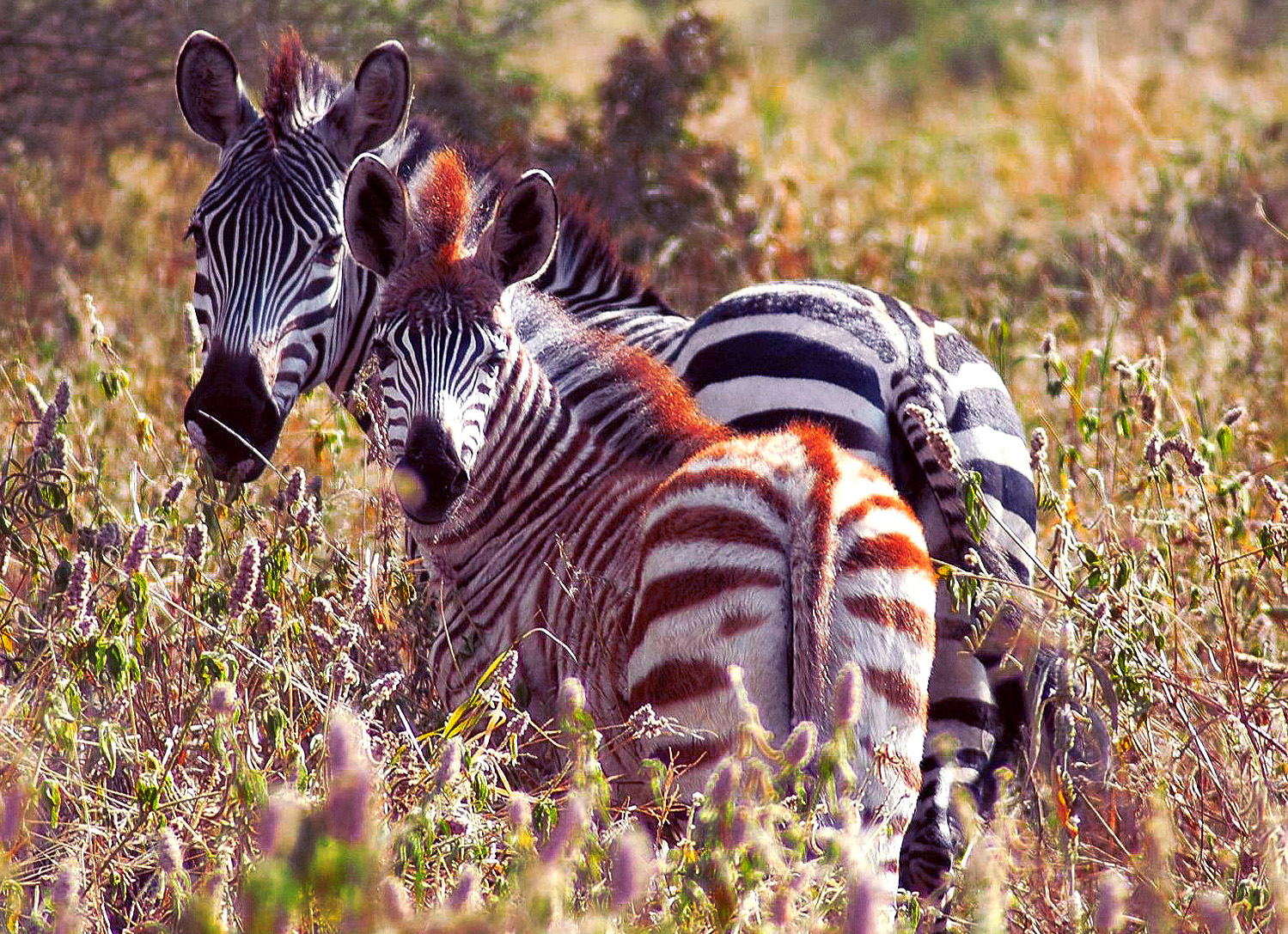 Website - A44 - Mother and Baby Zebra - Tarangiri
