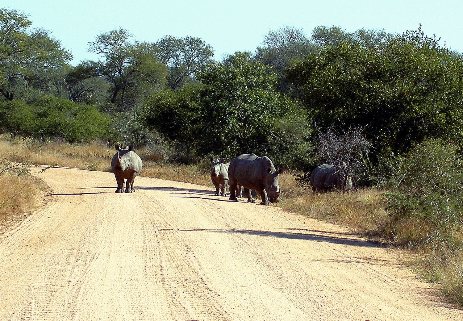 Website - A60 - Kruger -  Rhinos blocking Road
