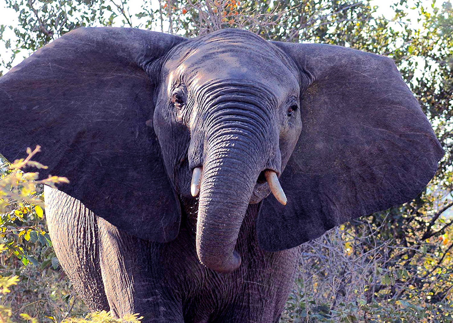 Website - A72 - Kruger - Young Elephant