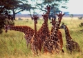 Website - A02 - 7 Giraffes in Serengeti
